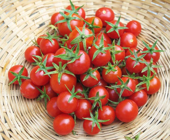 עגבניית צ