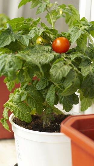 U0027Patiou0027 Tomato