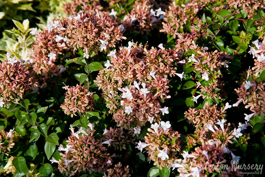 'Rose Creek' Glossy Abelia