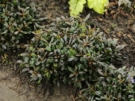 'Chocolate Chip' Bugleweed