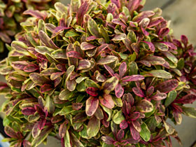 'Princess Nadia' Variegated Bugleweed