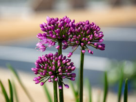 'Windy City' Flowering Onion