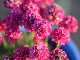 'Ministicks Rose' Sea Thrift
