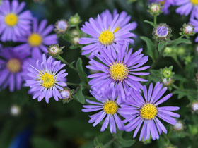 'Blue Autumn' Blue Aster