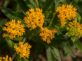 'Blonde Bombshell' Butterfly Weed