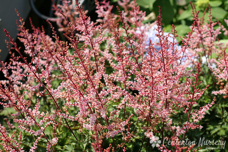 'Delft Lace' Late-Blooming Astilbe