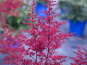 'Montgomery' Red Astilbe