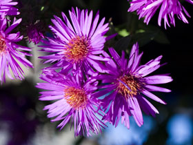 'Purple Dome' Purple Aster