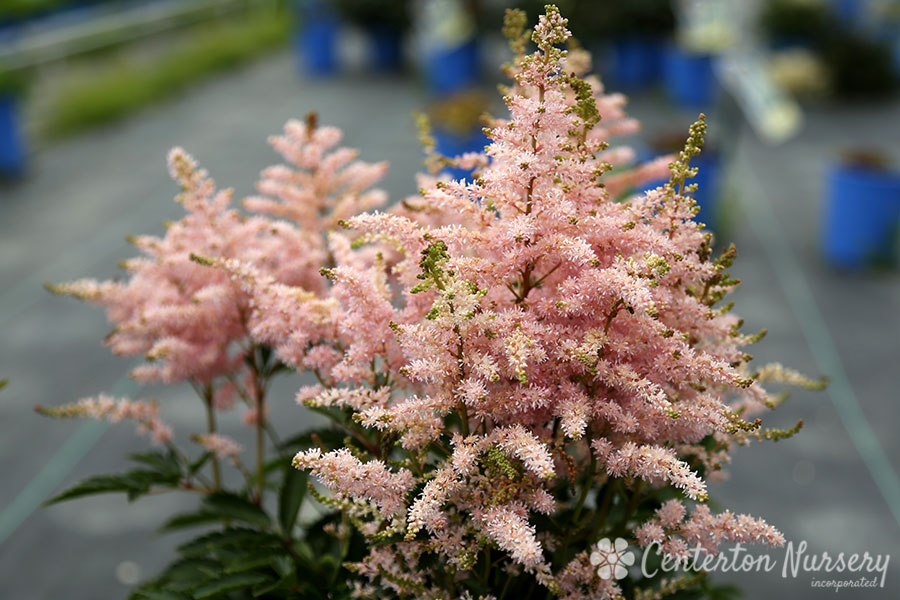 'Younique Silvery Pink' Astilbe