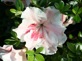 'Achievement' Late Flowering Azalea