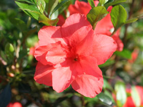 'Mrs. C.C. Miller' Late Blooming Azalea