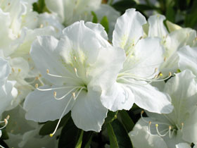 'Delaware Valley White' Azalea