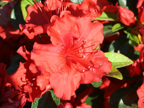 'Girard's Hotshot' Orange Azalea