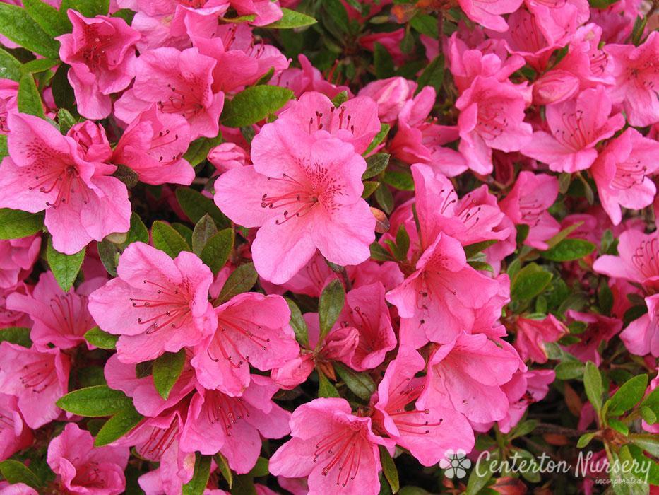 Girard S Renee Michele Late Blooming Azalea