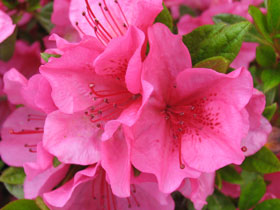 'Girard's Renee Michele' Late Blooming Azalea