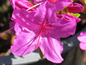 'Karen's' Early Purple Azalea