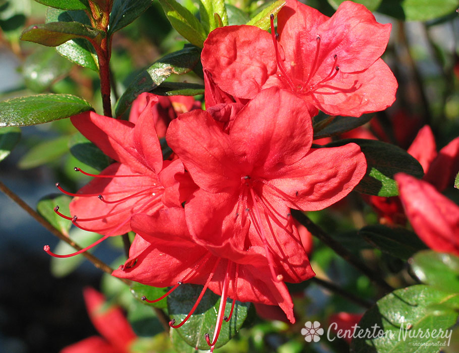 'Stewartstonian' Orange-Red Azalea