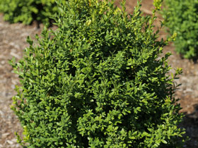 'Arctic Emerald' Upright Boxwood