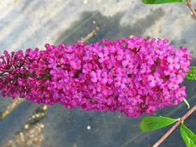 'Attraction' Red Butterfly Bush