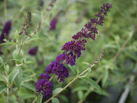 'Black Knight' Deep Purple Butterfly Bush