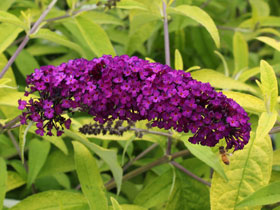 'Evil Ways' Butterfly Bush