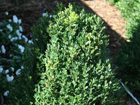 'Green Mountain' Upright Boxwood