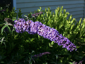 'Nanho Blue' Blue Butterfly Bush
