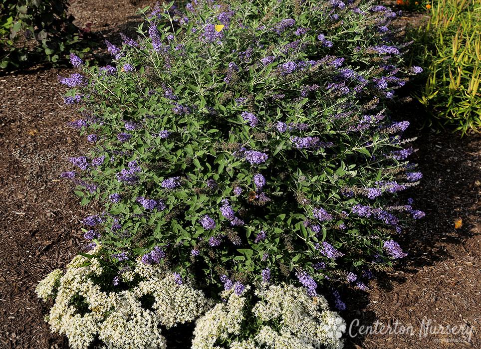 Flutterby Petite 174 Blue Heaven Dwarf Butterfly Bush