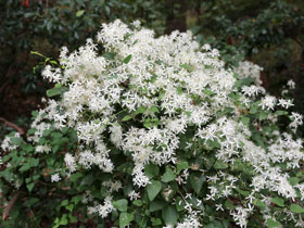 Sweet Autumn Fall Blooming White Clematis Vine