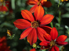 'Crazy Cayenne' Sizzle & Spice™ Coreopsis