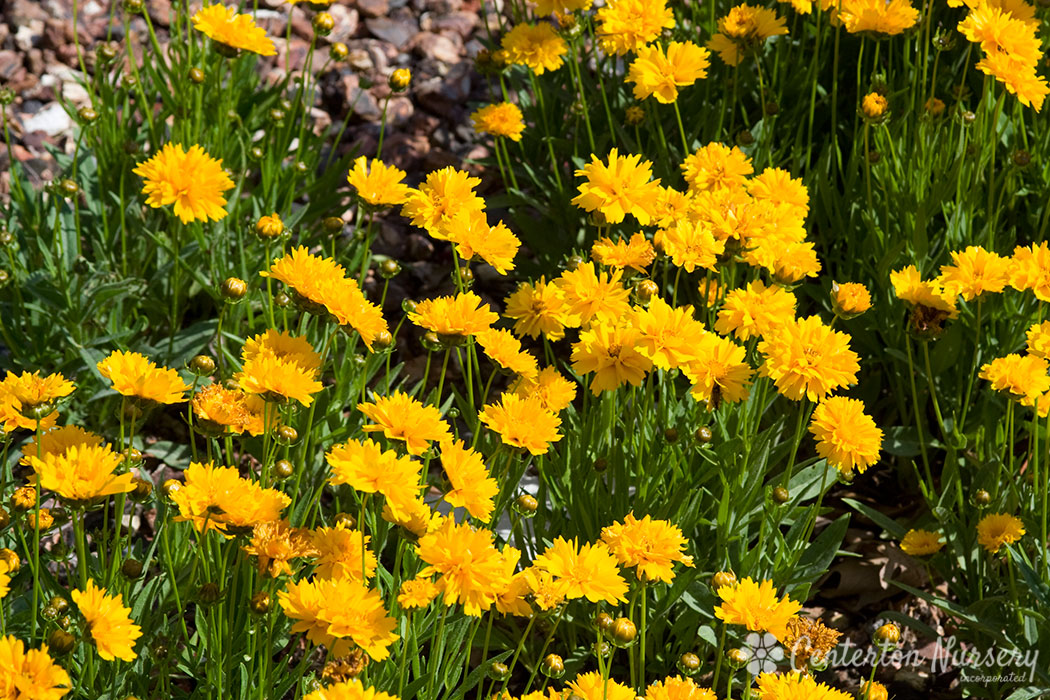 'Early Sunrise' Gold Broadleaf Coreopsis