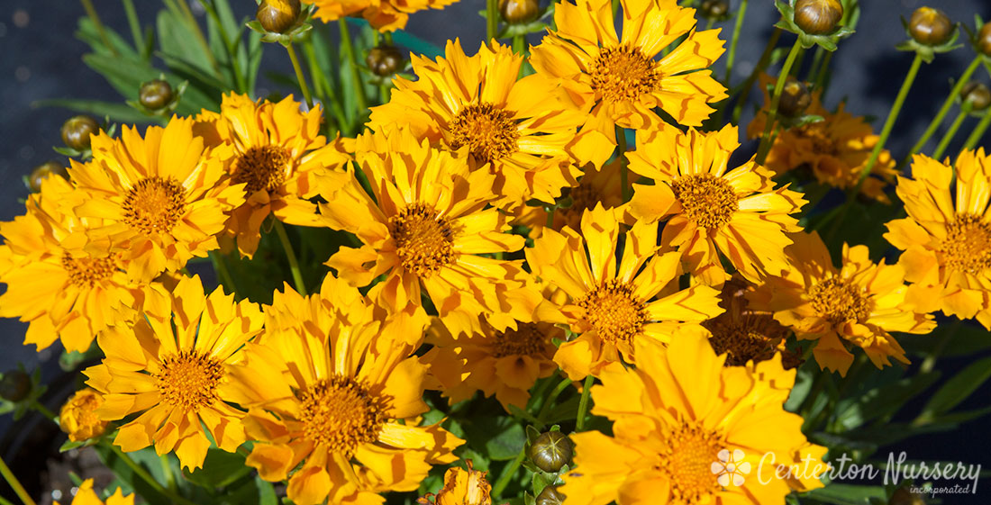 'Jethro Tull' Trumpet-Bloom Coreopsis