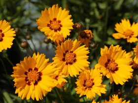 'Sunfire' Broadleaf Coreopsis