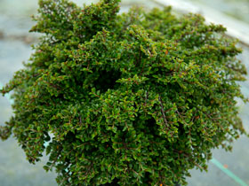 'Tom Thumb' Dwarf Cotoneaster
