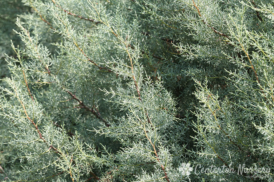 'Blue Ice' Arizona Cypress