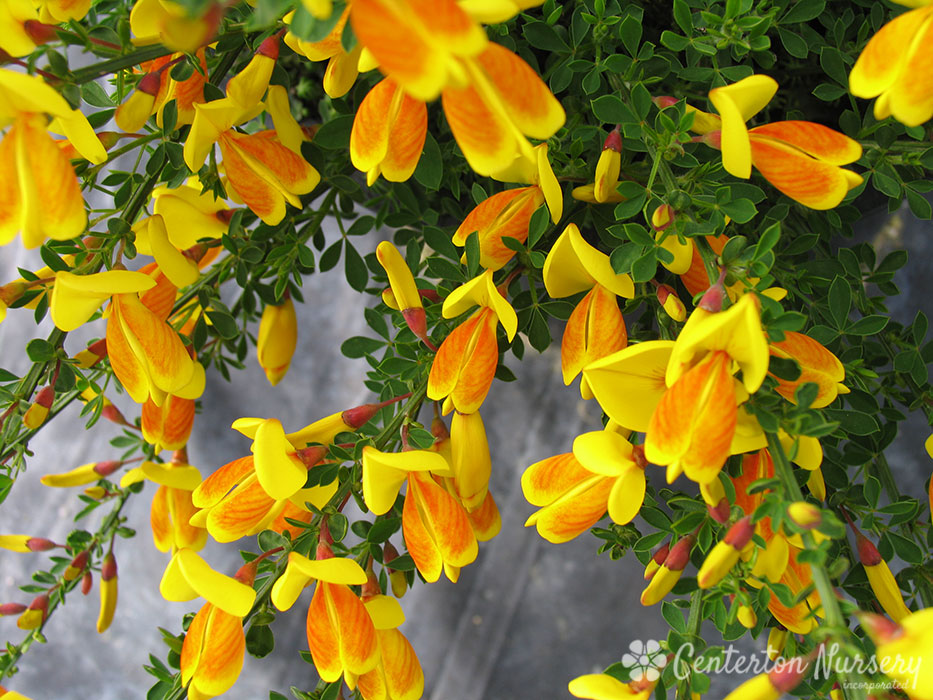 'Madame Butterfly' Gold Scotch Broom