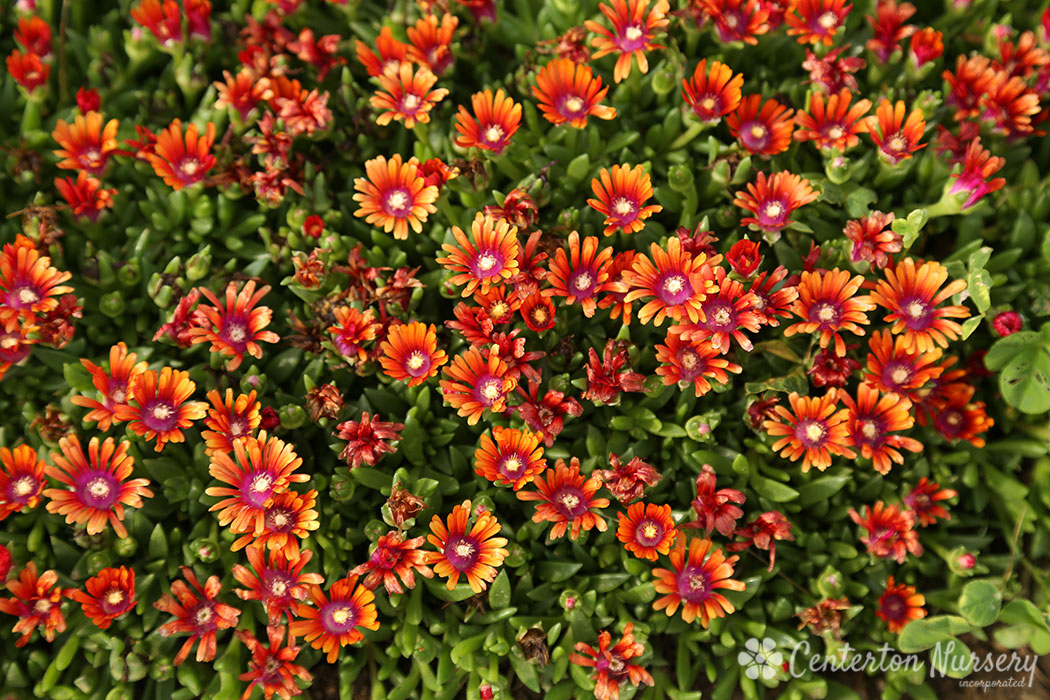 Firespinner™ Hardy Ice Plant