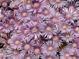 'Lavender Ice' Hardy Ice Plant