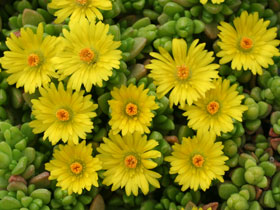Lemon Ice™ Hardy Ice Plant