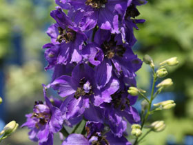 'Magic Fountains Dark Blue' Larkspur