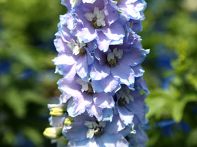 'Magic Fountains Sky Blue' Larkspur
