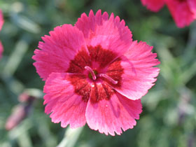 'Eastern Star' Reblooming Dianthus