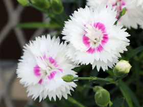 'Everlast White + Eye' Reblooming Dianthus