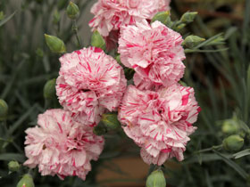 'Pinball Wizard' Double-Flowering Dianthus