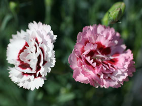 'Raspberry Surprise' Double-Flowering Dianthus