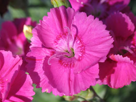 'Shooting Star' Reblooming Dianthus
