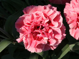 'Sugar Plum' Reblooming Garden Pinks