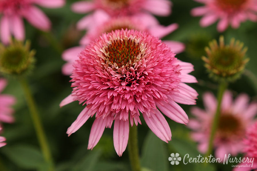'Butterfly Kisses' Double Coneflower