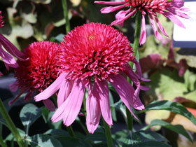 'Double Scoop Bubblegum' Coneflower