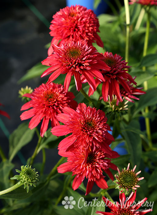 'Double Scoop Cranberry' Coneflower